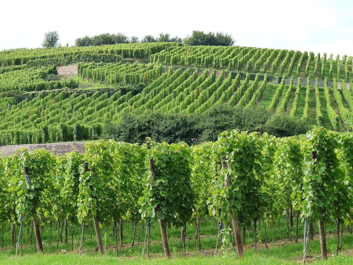 Vignoble Ribeauvillé et route des vins